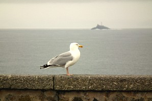 A gull at St Ives