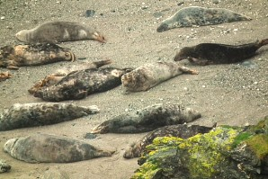 Seals at Godrevy, demonstrating the virtues of complete relaxation